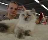 Pokaz Kotów Rasowych. Sto kocich piękności na wystawie w Łodzi