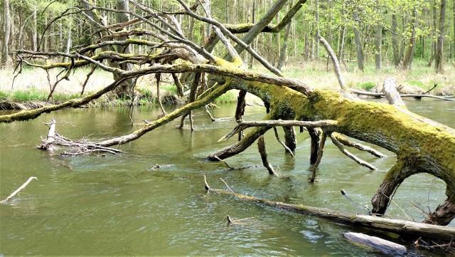Drawieński Park Narodowy (położony na terenie Lubuskiego, Zachodniopomorskiego i Wielkopolskiego), który 1 maja 2020 r. obchodził 30. urodziny, to rzeka Drawa, jeziora, kamienie i właśnie lasy Puszczy Drawskiej