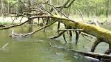 O czym drzewo szumi… Zapraszamy na spacer po urokliwym Drawieńskim Parku Narodowym. Lasy Puszczy Drawskiej zachwycają!
