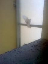 Szklana pułapka na gołębie. Wpadają tam, słabną i giną, bo nie mogą się wydostać...