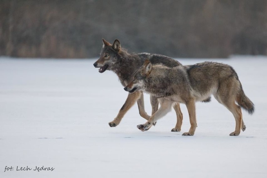 Wilki żyjące na pograniczu nadleśnictw Bogdaniec i Dębno to...