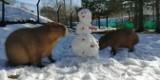 Gdański Ogród Zoologiczny. Ostatnie podrygi zimy - kapibary pożarły bałwanka