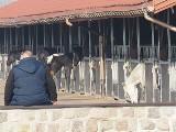 Prokuratura w Łodzi wszczęła śledztwo w sprawie tajemniczego zniknięcia 10 cennych koni w stadninie w Wiączyniu Dolnym