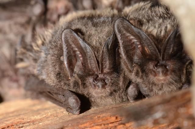 Nietoperze i ich ochrona mogą być szansą na renesans Twierdzy Poznań. Dzięki obecności tych ssaków w historycznych obiektach, można pozyskać spore środki z Unii Europejskiej.