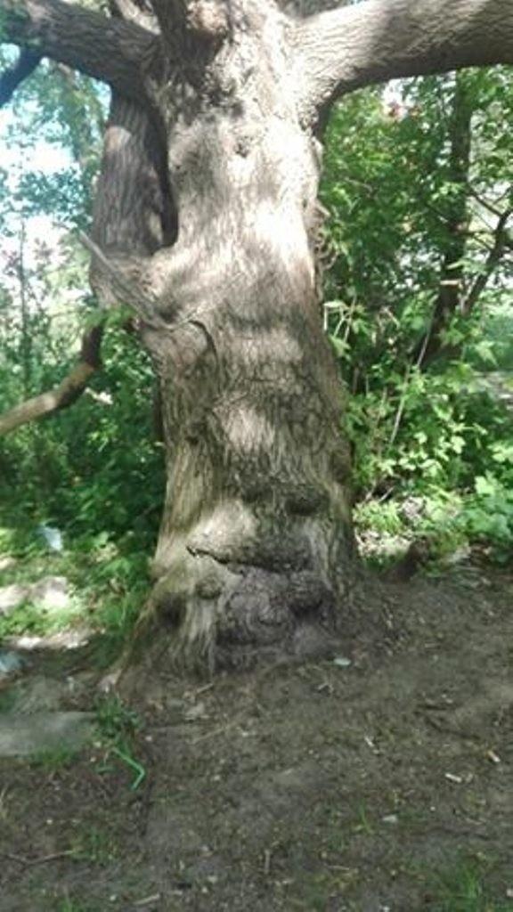 Niezwykłe drzewo w Zielonej Górze.