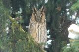 Niezwykli ptasi goście w brzezińskim parku miejskim - wróciły uszatki zwyczajne