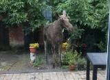 Dzik na placu zabaw, łoś na tarasie. Dzikie zwierzęta często zaglądają do Bydgoszczy