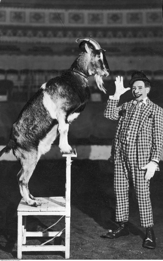 Treser zwierząt Ribo z Cyrku Braci Staniewskich podczas występu z kozą, 1929–1939.