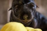 We wrocławskim zoo urodził się kotik afrykański. Co za słodziak! [ZDJĘCIA]