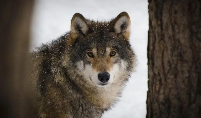 Na terenie nadleśnictwa Lutówko i Runowo ma być przeprowadzona inwentaryzacja wilków. Burmistrz Więcborka nie wyklucza redukcji populacji na tym terenie
