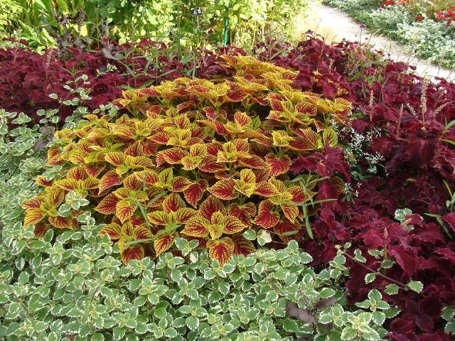 Z roślin o kolorowych liściach można tworzyć piękne kompozycje, a także łączyć je z trawami i kwiatami. Zobacz, jakie wybrać.