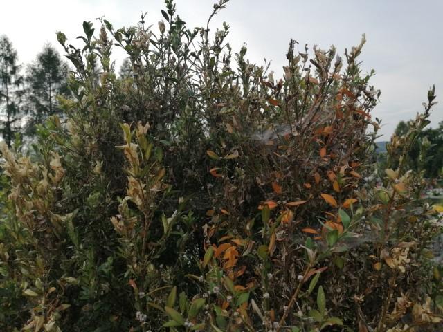 Ćma atakuje bukszpany, w krótkim czasie doprowadzając do obumarcia rośliny