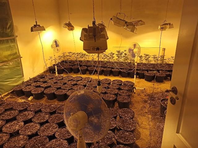 """W sprawie plantacji marihuany pod Sępólnem radnego Mateusza O. została zatrzymana trzecia osoba. Sam radny został wykluczony z klubu """"Przymierze Społeczne dla Krajny"""" i pozbawiony funkcji przewodniczącego komisji skarg, wniosków i petycji"""