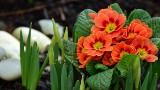 Marzec w ogrodzie, na działce i na balkonie. Jak zabrać się do wiosennych porządków? Zadbaj o swoje rośliny.