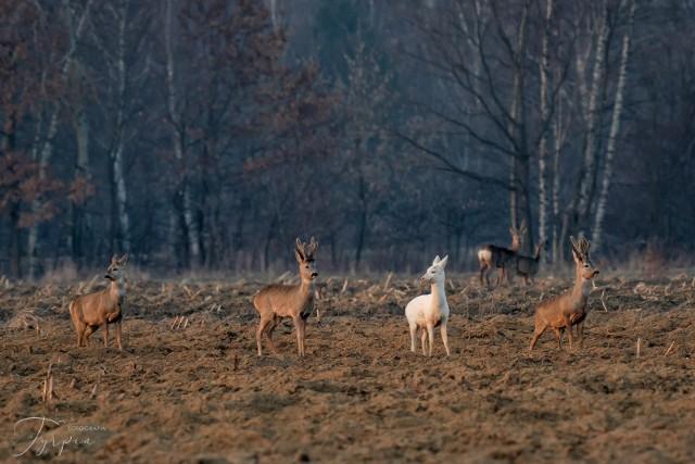 Biała sarna wyróżnia się spośród innych osobników ze stada
