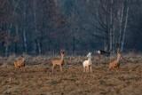 Biała sarna zaobserwowana w lasach i na łąkach między Tarnowem a Dębicą. Takie zwierzę rodzi się raz na 100 tysięcy [ZDJĘCIA]