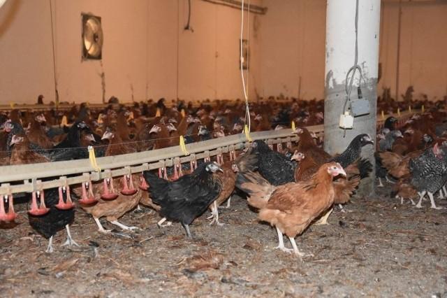 Za zniesieniem zakazu stosowania mączek mięsno-kostnych w żywieniu krzyżowym są m.in. właściciele kurników