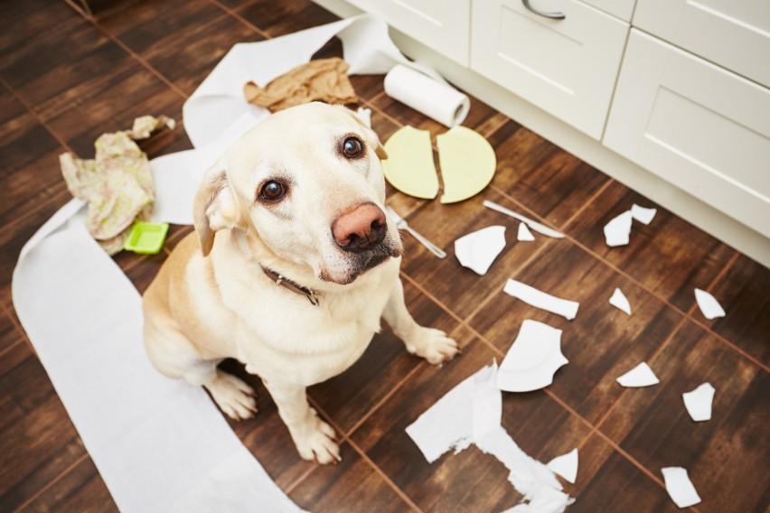 Oto najbardziej nieposłuszne rasy psów – one są najbardziej...