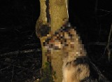 Stara Pawłówka - Malesowizna: Zwyrodnialec powiesił psa na drzewie. Wyznaczono nagrodę pieniężną za wskazanie sprawcy [ZDJĘCIA +18]