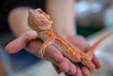 Krakowska giełda terrarystyczna przyciągnęła miłośników zwierząt egzotycznych [ZDJĘCIA]