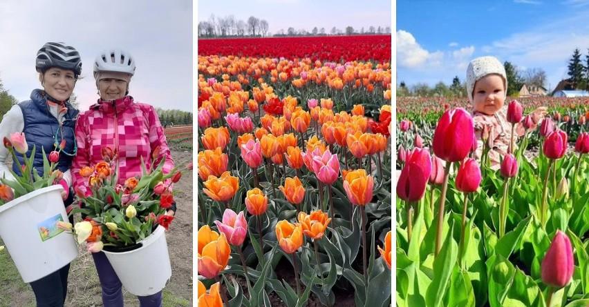 Na polu w Cedrach Wielkich wyrosło pole tulipanów. Można...
