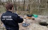 """Interwencja Animalsów w Starej Hucie w gm. Kartuzy. """"Pseudohodowla śmierci"""" - chore zwierzęta, bez dostępu do wody i ponad 120 martwych psów"""