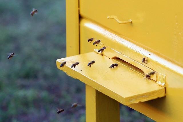 """W Ogrodzie Botanicznym - Święto PszczółOrganizatorzy zapoznają uczestników wydarzenia zasadami, które pomagają pszczołom zapylać rośliny. Goście Ogrodu Botanicznego poznają tajniki pracy tych pożytecznych owadów oraz dowiedzą się, jak je należycie chronić. Podczas Święta Pszczół odbędzie się także spacer z przewodnikiem """"Rośliny miododajne"""". Uczestnicy wydarzenia będą mogli rozwiązywać pszczelarskie łamigłówki, spróbują pszczelich smakołyków oraz będą mogli zakupić wyroby z miodu na specjalnym kiermaszu.Do niedzieli dzieci z lubelskich szkół poniżej 12 roku życia mogą również dostarczać do Ogrodu prace plastyczne na konkurs """"Portret rośliny miododajnej"""". Tego dnia będzie można wejść do Ogrodu Botanicznego za darmo, warunkiem będzie  pszczele przebranie.niedziela, Ogród Botaniczny UMCS, godz. 11.00, wstęp 3-8 zł."""