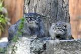 Wrocławskie zoo odchowało manule. W ogrodzie jest pięć maluchów [ZDJĘCIA]