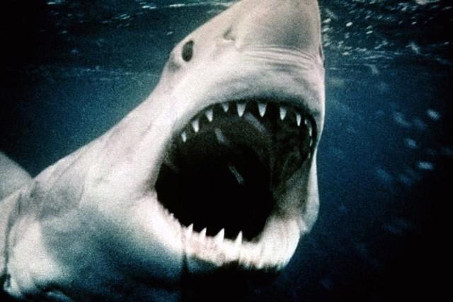 """Rekin ludojad z legendarnych """"Szczęk"""" z 1975 roku do dzisiaj pozostaje jednym z najbardziej przerażających potworów kina"""