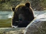 W poznańskim zoo z zimowego snu obudziła się niedźwiedzica Gienia