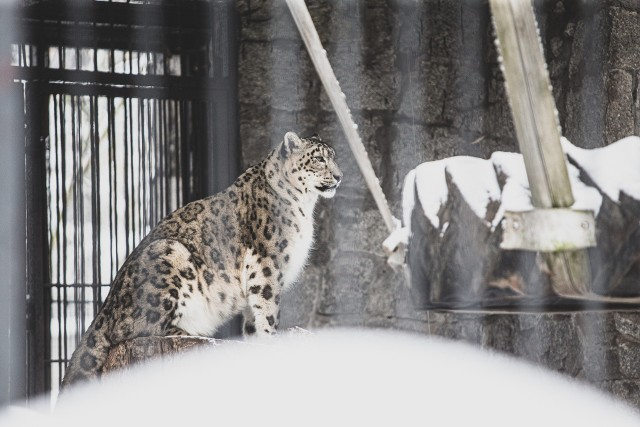 W śląskim zoo trwa budowa nowego wybiegu dla panter śnieżnych