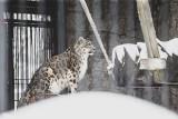 Śląski Ogród Zoologiczny: Aleika i Amalia, czyli dwie samice pantery śnieżnej ze śląskiego zoo, będą mieć nowy wybieg. Trwa jego budowa
