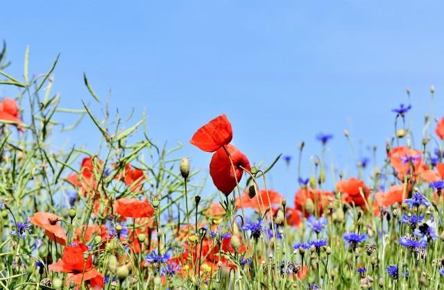 Łąki kwietne urosną też na słabszych glebach.