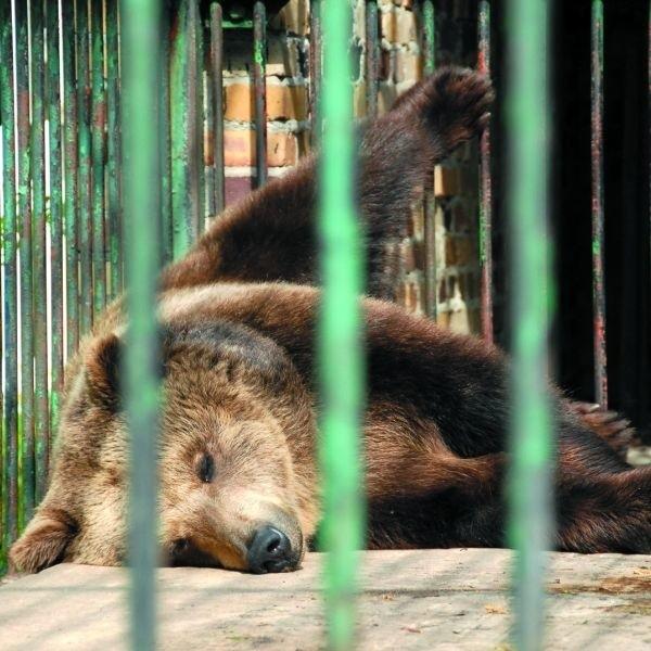 Niedźwiedź z białostockiego Akcentu ZOO od lat żyje w ciasnej klatce. Miejmy nadzieję, że po zmianach będzie miał lepsze warunki.