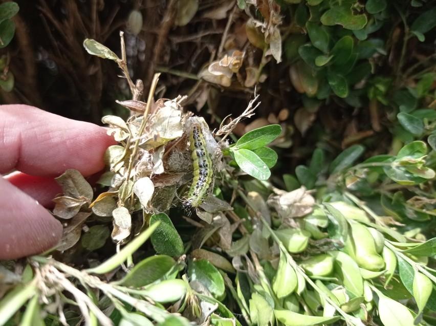 Ćma bukszpanowa znów atakuje w ogrodach. Sposoby zwalczania szkodnika [mapa występowania]