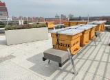 Poznań: Pszczoły zamieszkały na dachu siedziby Żabki. W przyszłym roku z każdego ula powstanie 20 kg miodu