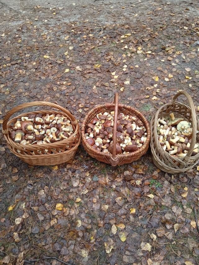 Mokra i ciepła aura to idealne środowisko dla grzybów. Piękna pogoda i ciepło zachęcały do spacerów po lecie. W związku z tym w radomskie lasy wyruszyło wielu grzybiarzy mających nadzieję na pełne koszyki wspaniałych okazów. Na kolejnych slajdach naszej galerii zamieszczamy Wasze zbiory. Jeśli byliście na grzybach i trafiliście na piękne okazy, pochwalcie się nimi! Wklejajcie zdjęcia na facebooka, albo przysyłajcie na adres internet@echodnia.eu.