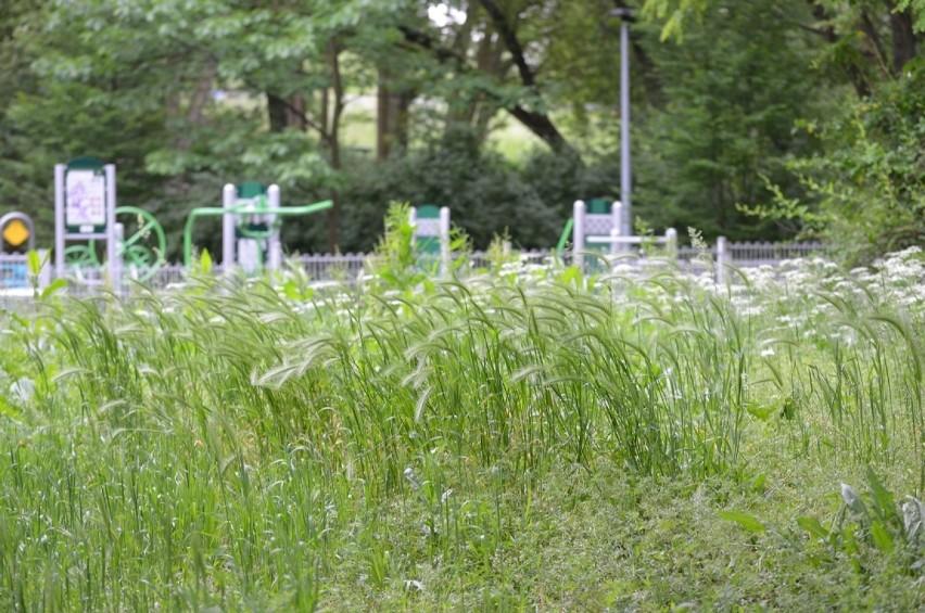 Lubliniec ogranicza koszenie trawników. Wszystko przez suszę