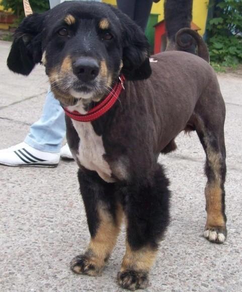 Nero, który przez dziewięć lat stróżował w szczecińskiej firmie, czeka w siedzibie TOZ na nowy dom. Jego poprzedni właściciel uznał, że pies jest zbyt stary, by dalej go utrzymywać.