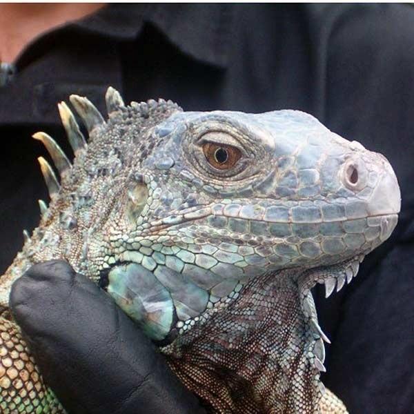 Dla przemyślanki ten legwan wyglądał jak krokodyl. Przypominający smoka wawelskiego może podobać się tylko wytrawnym miłośnikom przyrody.
