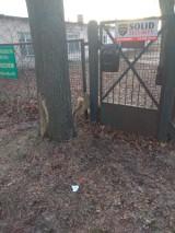Sarna utknęła między przęsłami ogrodzenia posesji na ul. Olechowskiej 83 w Łodzi, ratował ja Animal Patrol