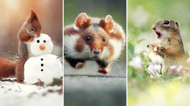 Fotografowanie dzikich, szybkich i płochliwych zwierząt to niełatwe zadanie, wymagające ogromnej cierpliwości. Wysiłek jednak się opłaca. Zobaczcie zdjęcia Juliana Rad, nagrodzonego w 2015 nagrodą Comedy Wildlife Photography Award za zdjęcie biegnącego chomika. Momenty, w których zostały przyłapane zwierzęta są fascynujące!