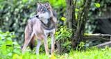 Wilki ZAGRYZŁY psa? Leśnicy z Myślenic ostrzegają! [6.10.2020]