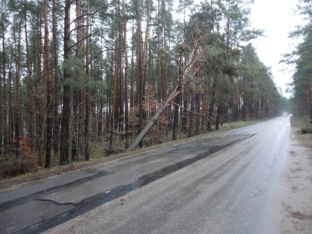 Uszkodzone po nawałnicy drzewo w powiecie kościerskim