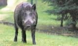 Będzie rzeź dzików w Wolińskim Parku Narodowym