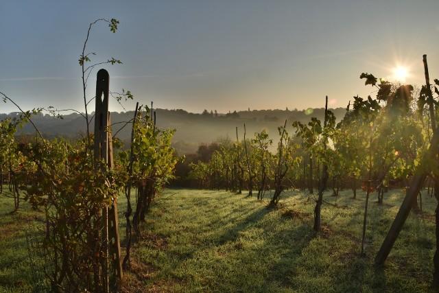 Eksperci podpowiedzą, na jakie odmiany winorośli się zdecydować