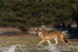 Odłowiona wilczyca nie zostanie w Białowieży. Zebrano pieniądze na budowę wybiegu (zdjęcia, wideo)