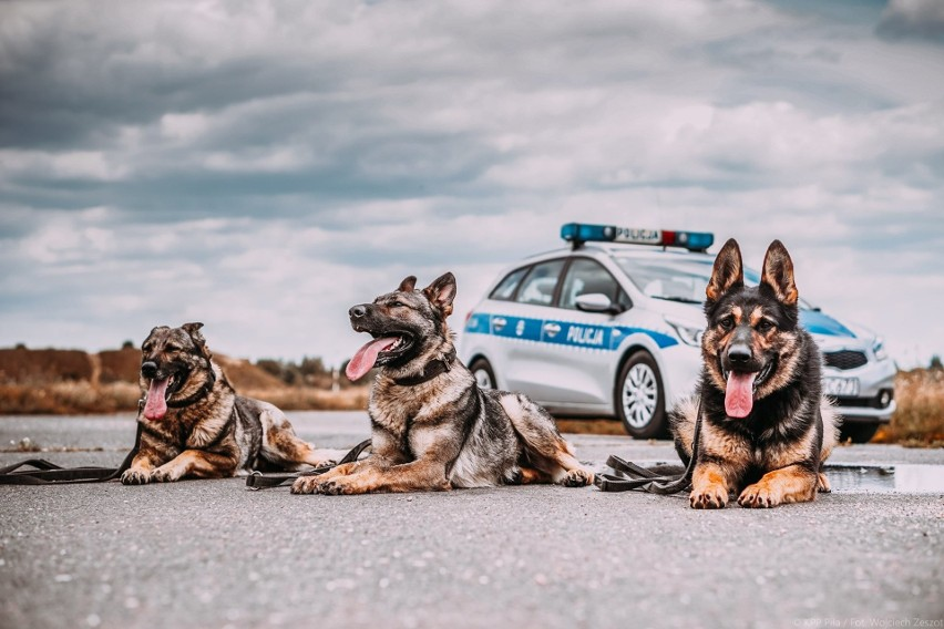 Pies to najlepszy przyjaciel człowieka, ale także dzielny obrońca i pomocnik. 101 psów służy obecnie w wielkopolskiej policji. Są to psy patrolowe, patrolowo-tropiące, tropiące, do wyszukiwania zapachów zwłok, narkotyków, materiałów wybuchowych i te wykorzystywane do ratownictwa wodnego. - Jesteśmy aktualnymi mistrzami Polski psów służbowych w kategoriach psów patrolowo-tropiących i specjalnych. Każdy z naszych psów ma inny charakter, a za ich wyszkoleniem stoją przewodnicy psów służbowych. Razem pracują i opiekują się nim. Zapraszamy do obejrzenia zdjęć z naszymi czworonożnymi przyjaciółmi - mówi Dominika Pupkowska-Bral z zespołu prasowego  KWP w Poznaniu. Przejdź do kolejnego zdjęcia --->