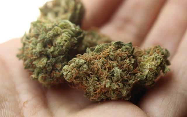 100 kilogramów miesięcznie to ilość medycznej marihuany, która ma trafiać do Polski w drugiej połowie tego roku