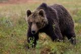 W lasach koło Komańczy niedźwiedź zaatakował i poturbował człowieka. Zabrało go pogotowie